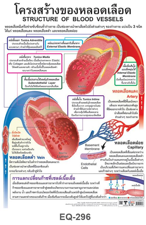 โปสเตอร์กระดาษ โครงสร้างของหลอดเลือด #EQ-296 แผ่นภาพโปสเตอร์สื่อการเรียนรู้ ประกอบการศึกษา