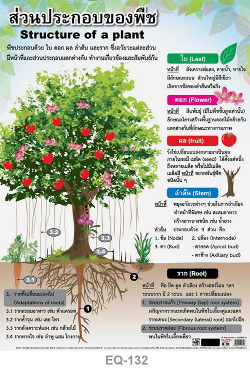 โปสเตอร์กระดาษ ส่วนประกอบของพืช #EQ-132 แผ่นภาพโปสเตอร์สื่อการเรียนรู้ ประกอบการศึกษา