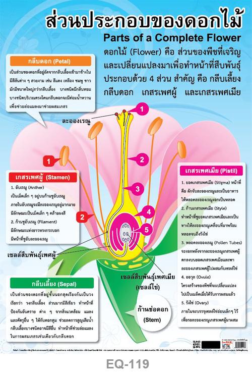 โปสเตอร์กระดาษ ส่วนประกอบของดอกไม้ #EQ-119 แผ่นภาพโปสเตอร์สื่อการเรียนรู้ ประกอบการศึกษา
