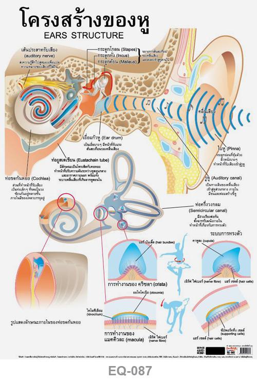โปสเตอร์กระดาษ โครงสร้างของหู #EQ-087 แผ่นภาพโปสเตอร์สื่อการเรียนรู้ ประกอบการศึกษา